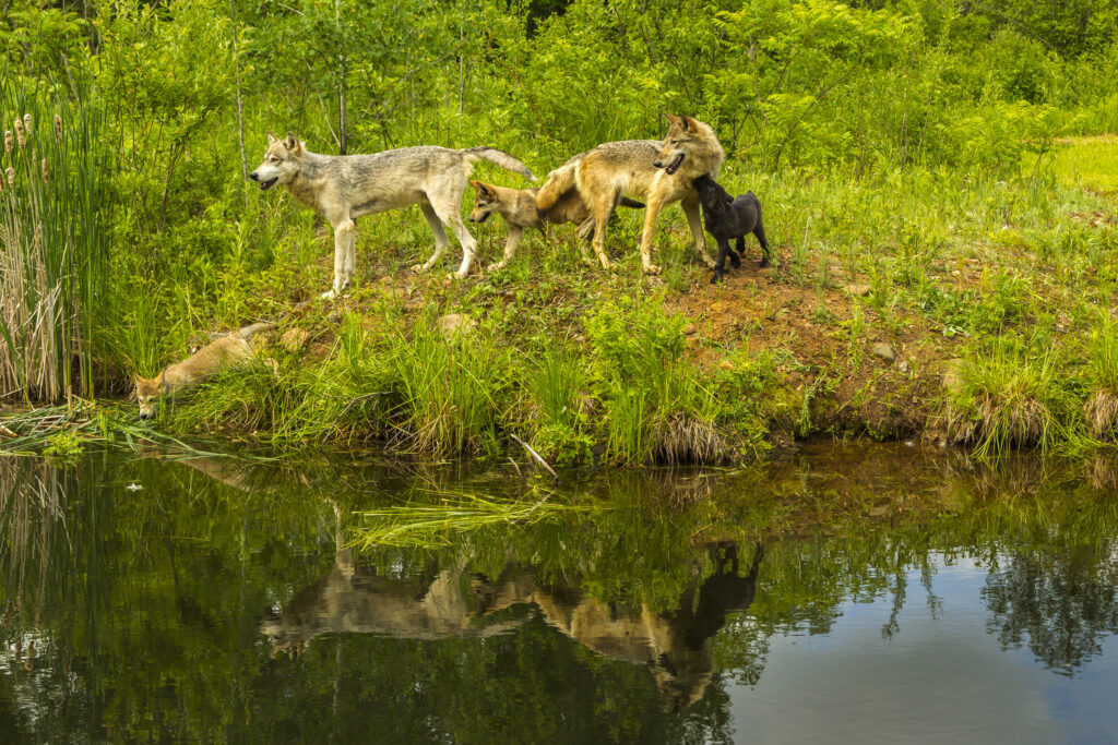 rewilding initiatives - wolves reintroduction to Yellowstone Park